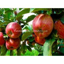 Apple Red Star frais pour l'exportation
