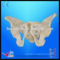 Жизненный размер Взрослый таз Скелет Модель Медицинская модель мужского таза
