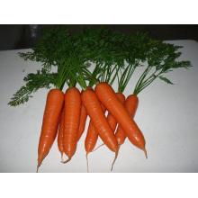Diferentes tamaños de zanahoria lavada y pulida