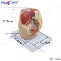 PNT-1580 mini modelo de cavidad pélvica femenina, modelo de pelvis anatómica