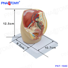 PNT-1580 mini Female Pelvic Cavity Model, Anatomical Pelvis Model