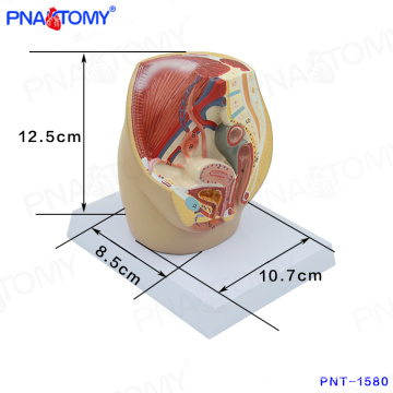 PNT-1580 mini Female Pelvic Cavity Model, Anatomical Pelvis Model