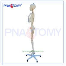 Nova marca PNT-0107 anatomia esqueleto fotos