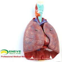 LUNG01 (12498) 1: 1 Pulmón 7 partes Modelo con laringe Anatomía Modelos> Pulmón Modelos> Modelo de educación