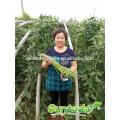 Suntoday vegetable assorted vegetable seedlings vegetable harvester hs code F1 Organic green cowpea long yard bean seeds(41001)