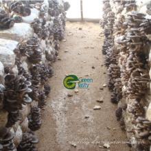 Beste Qualität / Preis gefrorenen Baby Oyster Mushroom