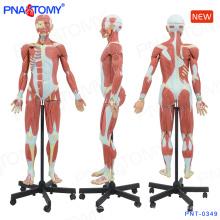 PNT-0349 140cm humain modèle de figure musculaire