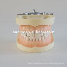 Modelo dental plástico profesional del grado anatómico médico 13011