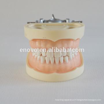 Modèle dentaire en plastique médical professionnel de catégorie anatomique 13011
