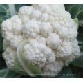 CF40 Genius 40 jours de maturité précoce extra graines de chou-fleur