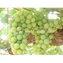 Uvas frescas (verde)