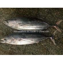 Gefrorene ganze Runde Springjack Fisch