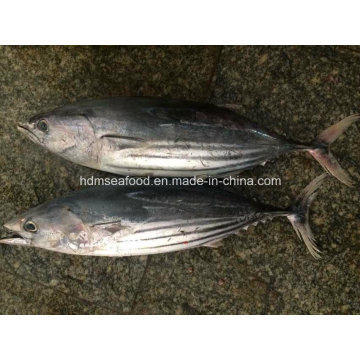 Frozen Whole Round Skipjack Fish