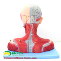 MUSCLE07(12030) Head and Neck with Vessels,Nerves and Brain (Medical Model,Anatomical Model) 12030