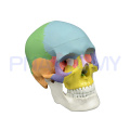 PNT-0153 3 parts colored skull model