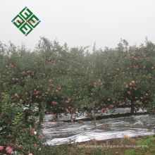 china supplier of fresh hanfu apple delicious hanfu apples