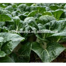 MCC02 Меигу сильные зеленые круглые листья китайской капусты семена