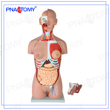 PNT-0301 85cm 28parts human torso model,open back,dual-sex