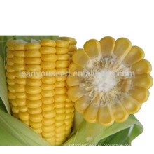 CO01 Semillas de maíz híbrido amarillo súper dulce de madurez media de miel para plantar