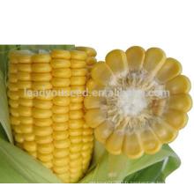 CO01 Graines de maïs hybrides jaunes super-douces à maturité moyenne pour la plantation