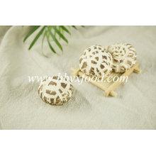 Cogumelo de Shiitake secado orgânico seco vegetal