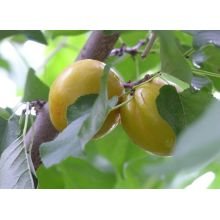 Fresh Apricot best fruit