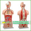Modèles d'enseignement Anatomie du torse humain en plastique avec des organes amovibles