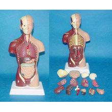 85cm Männliche medizinische anatomische Torso menschliche Anatomie System Modell