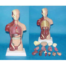 85cm Male Medical Anatomic Torso Human Anatomy System Model