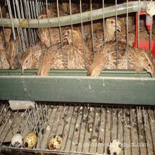 Poultry Uganda Layer Farm Chicken Cage Para Venda
