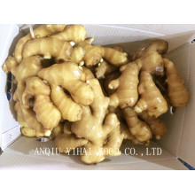 2015 Good Quality Fresh Ginger 250g and up