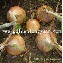 Oignon jaune frais chinois
