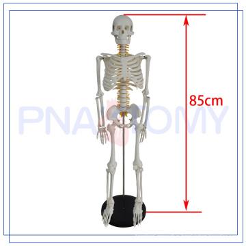 PNT-0106a best sale Halloween skeleton model