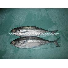 Finlet Mackerel Fisch (Megalaspis cordyla)