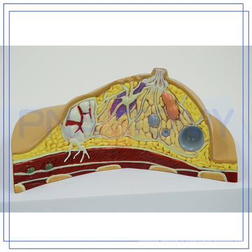 PNT-0741 Custom logo breast anatomical model For Teaching for hospitality industries