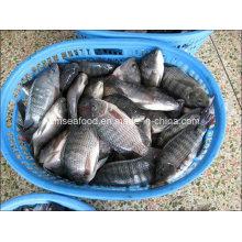Todo o peixe congelado de Tilapia