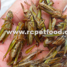 Freeze Dried Locusts For Pet Birds Food Factory