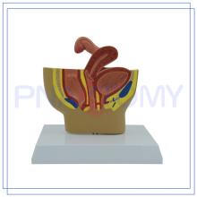PNT-05801 modelo de pelvis femenina