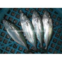 Indische Mackerel Fisch zum Verkauf