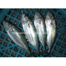 Indian Mackerel Fish for Sale