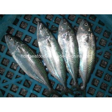 Индийская рыбка для скумбрии