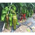 P30 Meiguang no.202 tamanho grande sementes de pimenta verde híbrido de pele fina