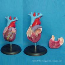 Анатомия человека с анатомической моделью сердца человека (R120101)