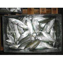 Gefrorene Fisch-ganze runde indische Makrele
