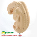 ANATOMY38 (12476) Anatomisches humanes vierwöchiges großes Embryo-Amplifikationsmodell 12476