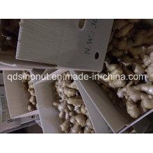 2014crop Ingwer in PVC-Box