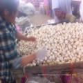 Chinese Fresh Garlic Farm Factory à Shandong