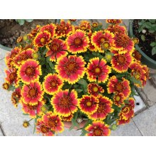 Kinesisk Amazing Chrysanthemum Flower