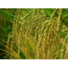 Extrato de farelo de arroz em pó de ácido ferulico