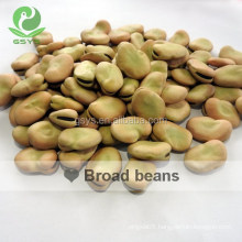 Golden supplier of dry Fava Beans /Broad Beans in shell 50-60